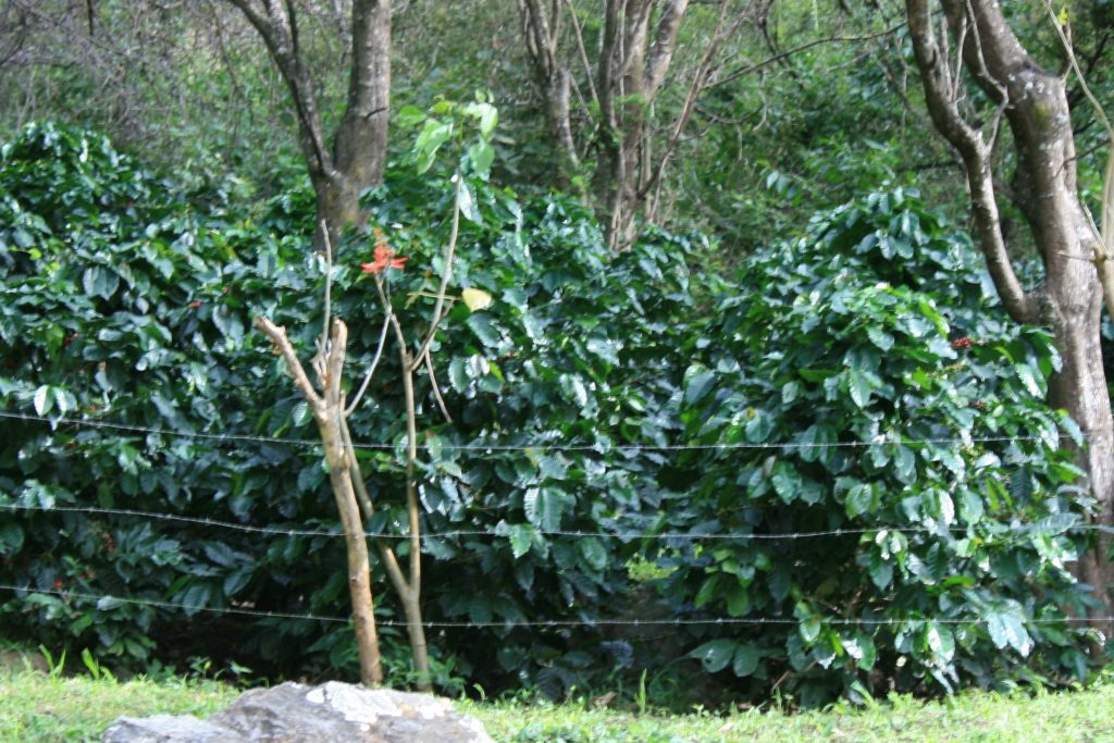 coffee trees on the farm in the shade