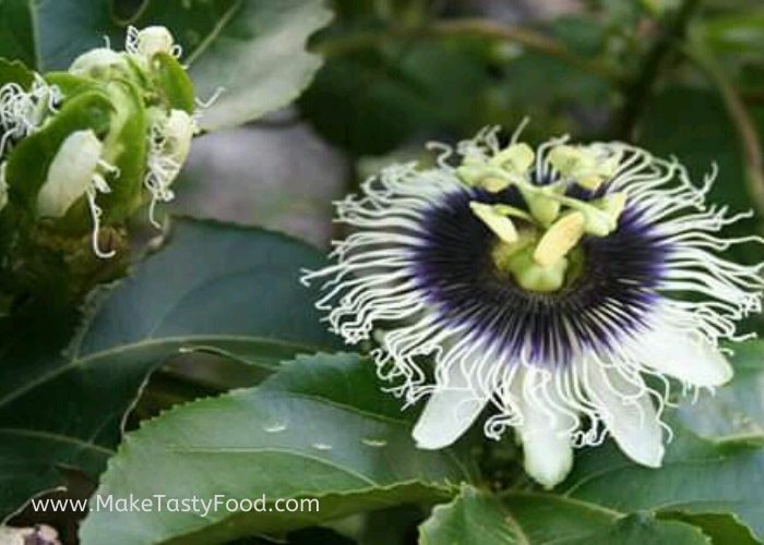 one flower just about to open and one open passion fruit flower