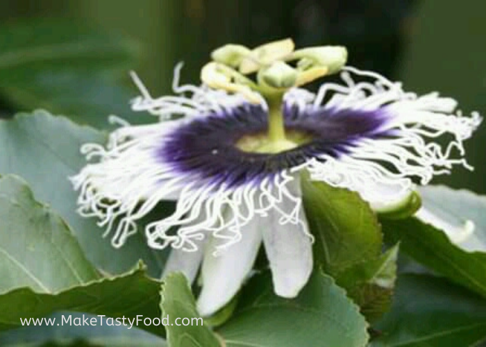 a beautiful colorful passion fruit flower