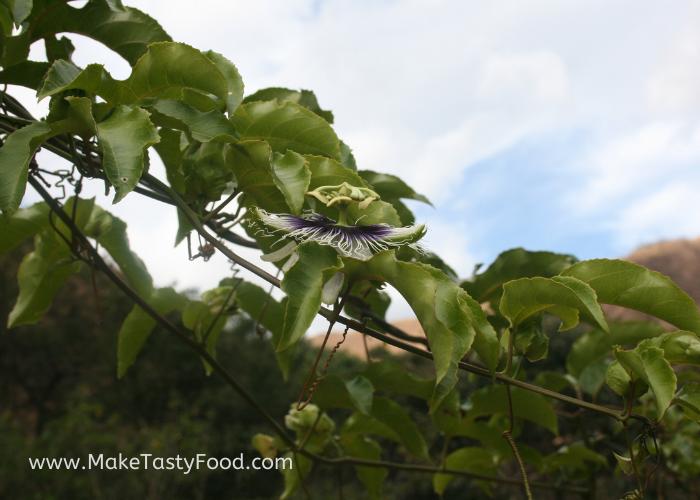 a passion fruit flower