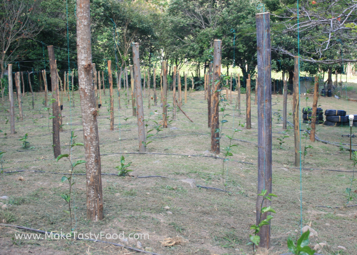 young passion fruit vines
