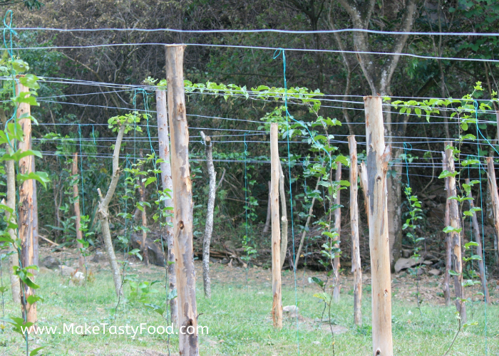 the passion fruit plants have reached the top vine